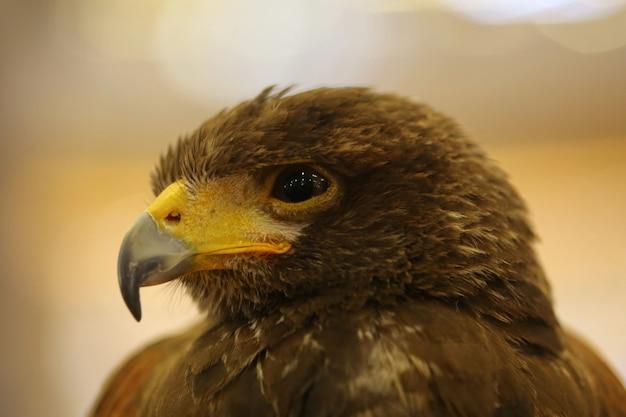 Bruin adelaarsoog
