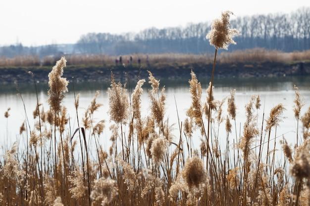 Bruin droog riet op de achtergrond van het meer. het begin van de lente