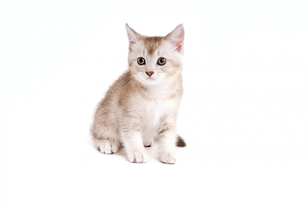 Bruin en wit katje dat op wit wordt geïsoleerd.