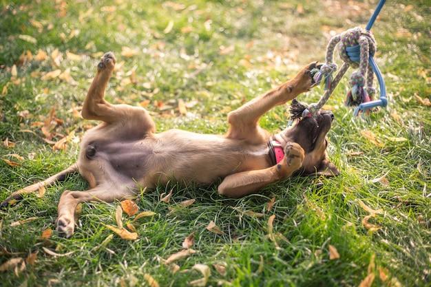 Bruin gemengd puppy spelen met speelgoed op de grote tuin tijdens een mooie zomerdag