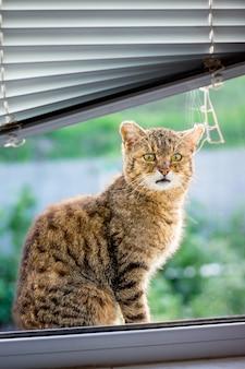 Bruin gestreepte kat zit op vensterbank en wil kamer binnengaan. venster met jaloezie. reclame maken voor een jalousie_