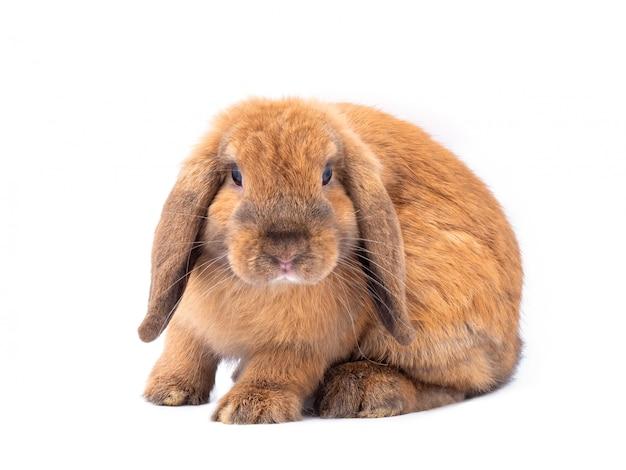 Bruin holland snoeit konijn dat op witte achtergrond wordt geïsoleerd.