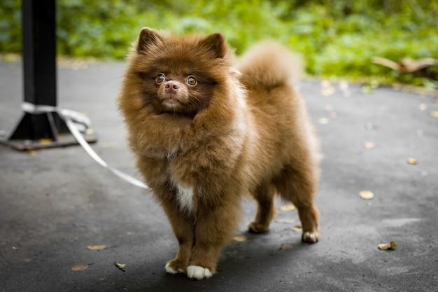 Bruin hondenras spitz, puppy