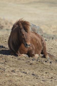 Bruin ijslands paard dat op de grond rust