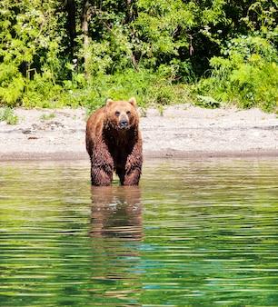 Bruin kamchatka draagt op het meer in de zomer