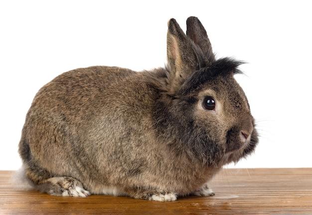 Bruin konijn geïsoleerd op wit