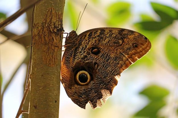 Bruin met zwarte vlekken grote buterfly die op de boom in iguazu valt valt nationaal park, argentinië
