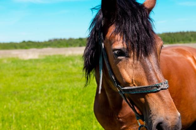 Bruin paard portret op het groene grasveld in de zomer