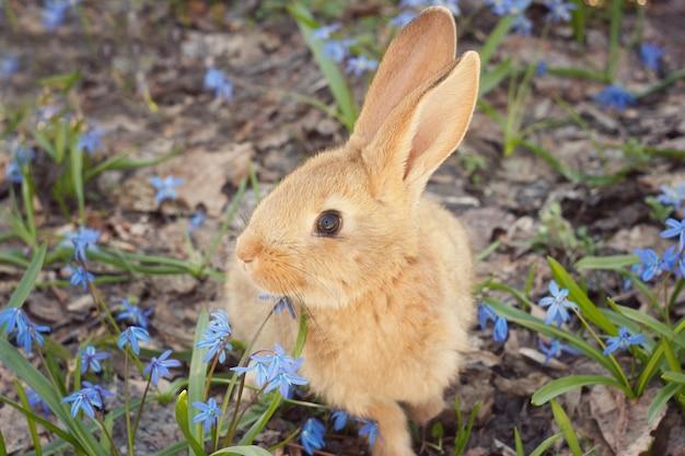 Bruin pluizig konijntje in een weide van blauwe bloemen. een klein decoratief konijn gaat op groen gras in openlucht