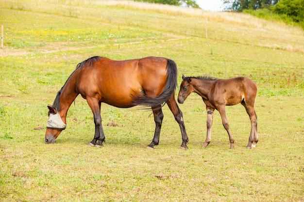Bruin veulen dat in de zomer bij zijn moeder in een weiland staat