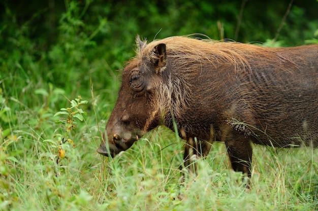 Bruin wrattenzwijn op een met gras bedekt gebied in de afrikaanse oerwouden