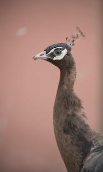Bruin zwart wit peacock wild
