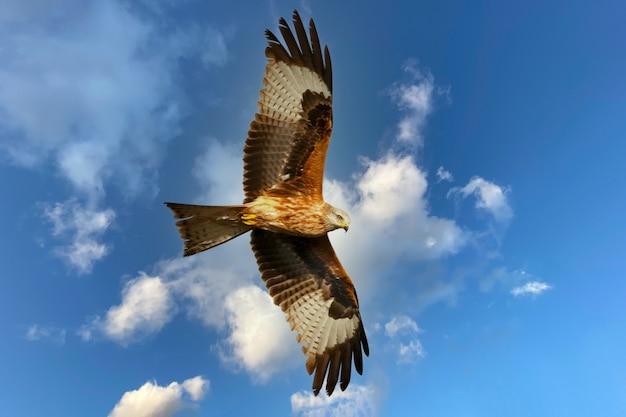 Bruine adelaar die in de blauwe hemel met witte wolken vliegt