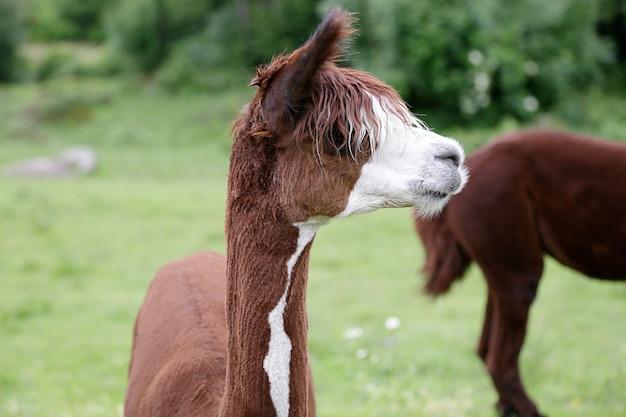 Bruine alpaca (vicugna pacos) in een weiland
