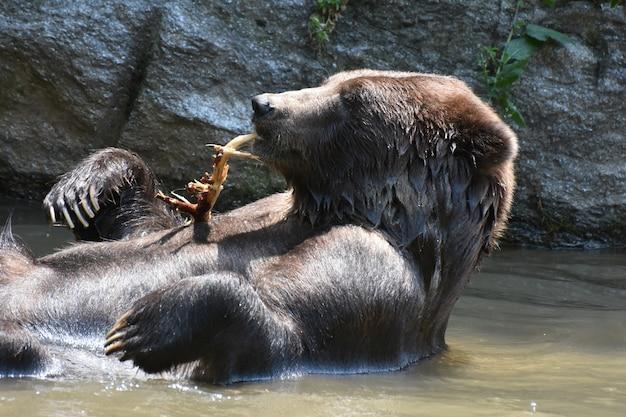 Bruine beer badend en knabbelend aan een boomtak