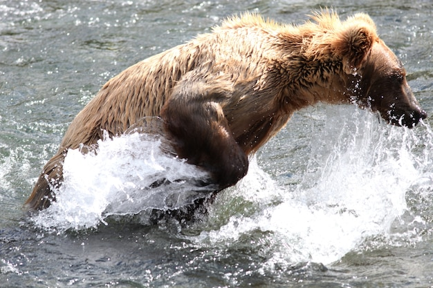 Bruine beer die een vis vangt in de rivier in alaska