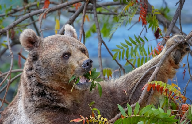Bruine beer eet bladeren van een boom