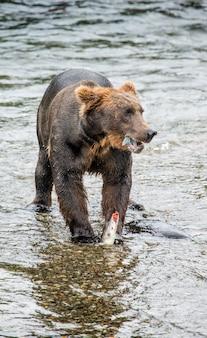 Bruine beer eet zalm in de rivier