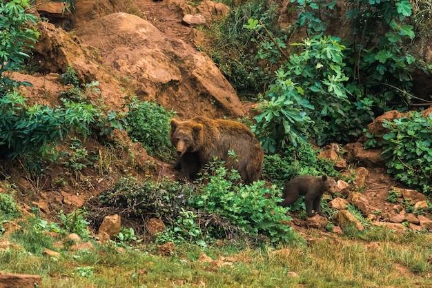 Bruine beer en hun puppy in een natuurreservaat