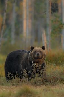 Bruine beer in de natuurhabitat van finland