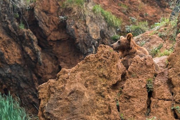 Bruine beer in een natuurreservaat