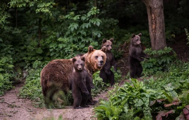 Bruine beer moeder en welpen.