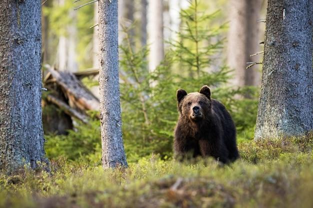 Bruine beer staande in bergbos tussen bosbessenstruiken.