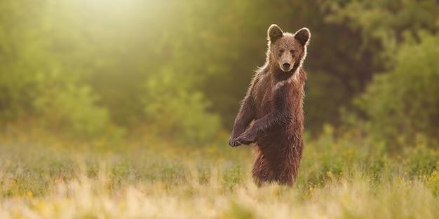 Bruine beer staande op achterpoten in rechtopstaande positie op de weide met kopie ruimte