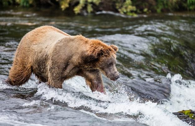 Bruine beer staat in de rivier