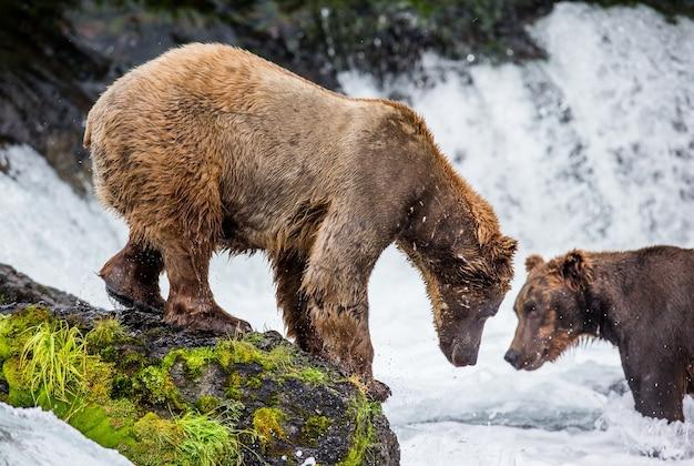 Bruine beer staat op een rots midden in de rivier