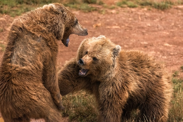 Bruine beer twee vecht in een natuurreservaat
