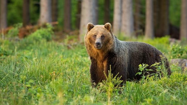 Bruine beer, ursus arctos, staande in het bos in de zomeraard in zonlicht. wild zoogdier dat naar de camera kijkt in zonnig bos. grote roofdieren kijken in de wildernis.