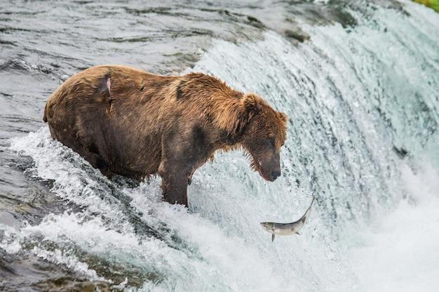 Bruine beer vangt een zalm in de rivier