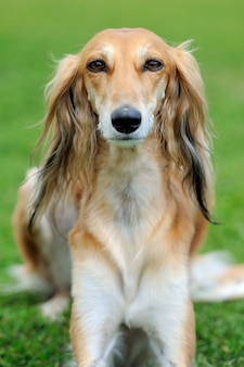Bruine borzoi hond in groen zomer gras