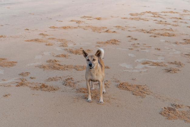 Bruine dakloze thaise hond die na het rennen op het zandstrand staat