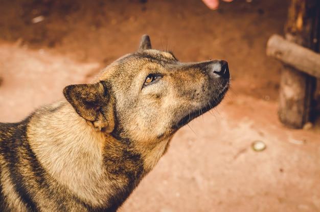 Bruine dakloze thaise hond in de zijstraat