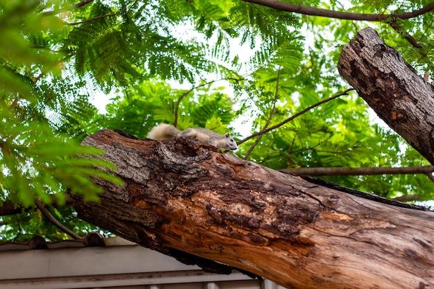 Bruine eekhoorn die leeft in de bomen in de stad