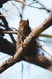 Bruine eekhoorn in de boom