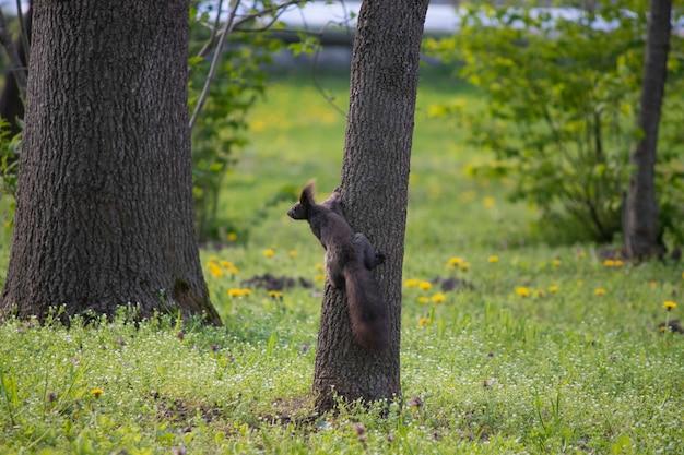Bruine eekhoorn in de herfst op een boom onder groene bladeren eekhoorn loopt in het park