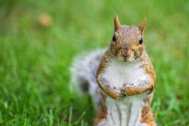Bruine eekhoorn over groen gras dat naar camera kijkt