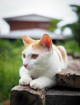 Bruine en witte kat thai op oude houten in tuin