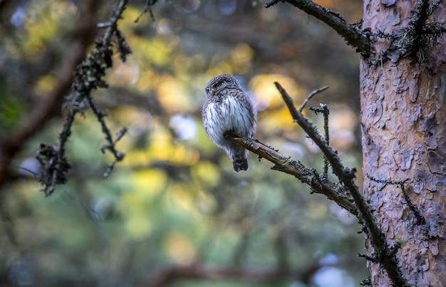 Bruine en witte uil op boomtak