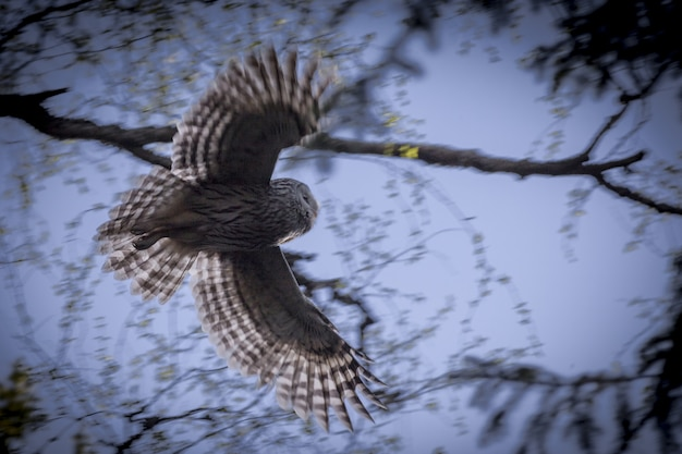 Bruine en witte uil vliegen