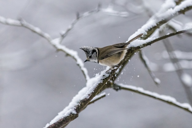 Bruine en witte vogel op boomtak bedekt met sneeuw