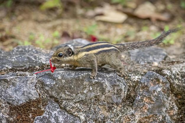 Bruine en zwarte eekhoorn op grijze rots