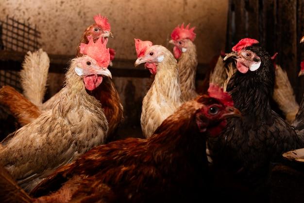 Bruine, gekleurde en witte kippen op de boerderij