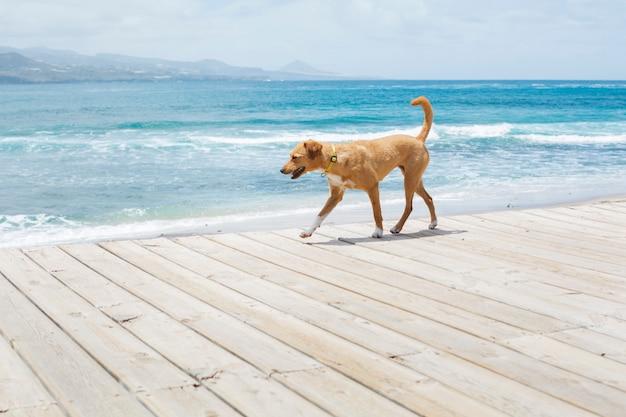 Bruine hond die langs de weg naast het blauwe overzees loopt. zomertijd.