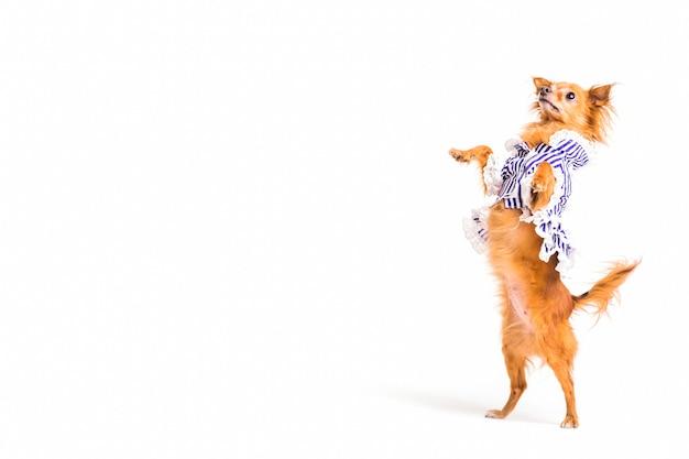 Bruine hond die zich op achterste benen over witte achtergrond bevindt
