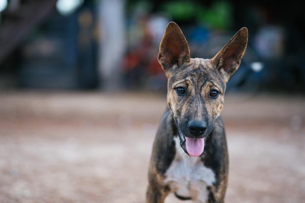 Bruine hond met een gevormd gezicht, rechtopstaande oren, recht kijkend of kijkend naar de camera.