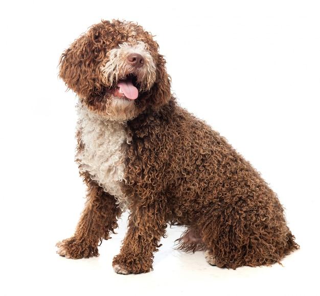 Bruine hond zitten met tong uit